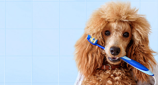 poodle biting on a toothbrush